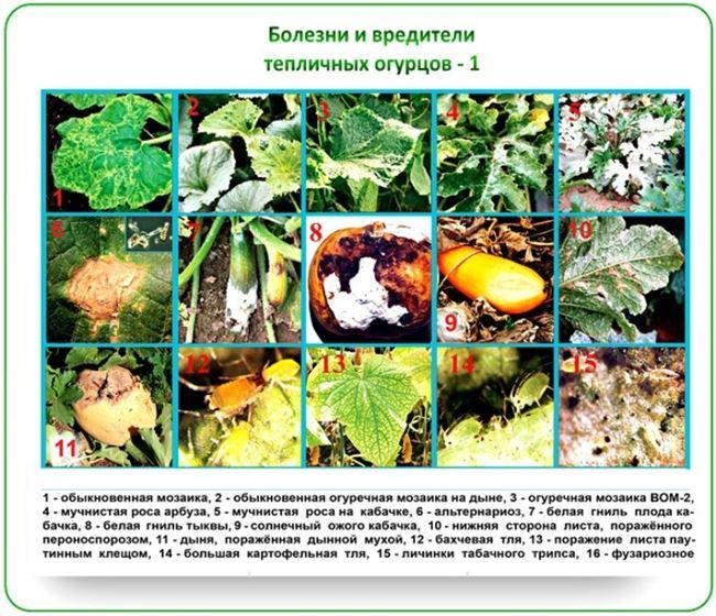 Болезни и вредители сорта