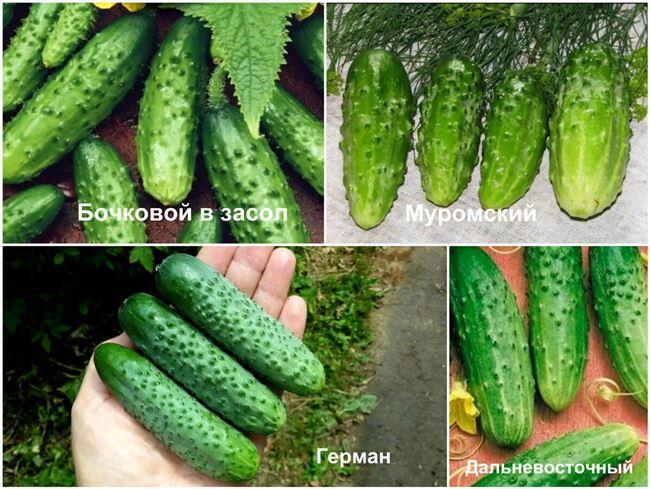 Лучшие семена огурцов, подходящих для засолки и консервирования