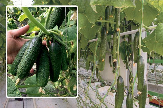 Ранние сорта огурцов для выращивания на открытом грунте и в теплицах. Огурец чудо букет f1 описание
