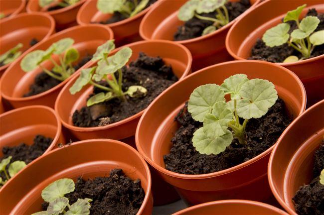 Размножение и выращивание пеларгонии из семян в домашних условиях (с видео)