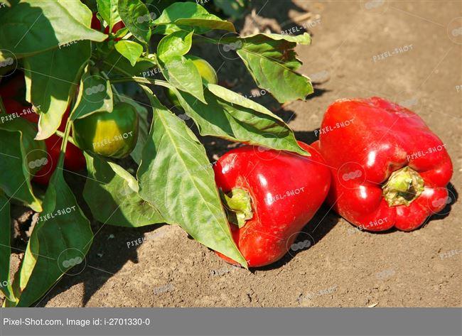 Видео: перец в горшках от семян до урожая