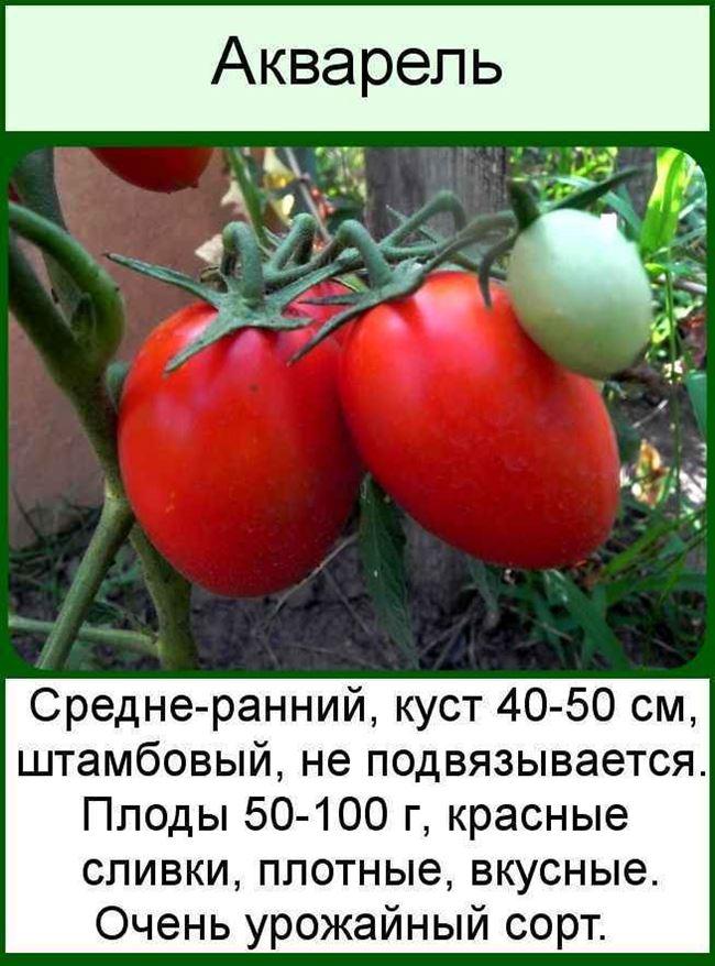 Описание и характеристика сорта томата Акварель, отзывы, фото