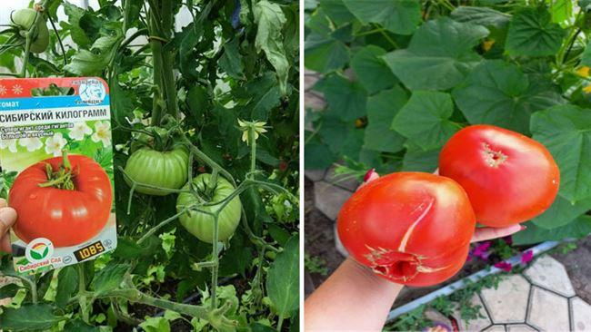 Характеристика плодов помидоров Лампочка