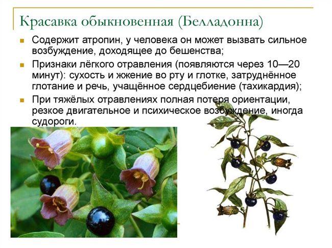 Технология выращивания белладонны. Семена и размножение белладонны