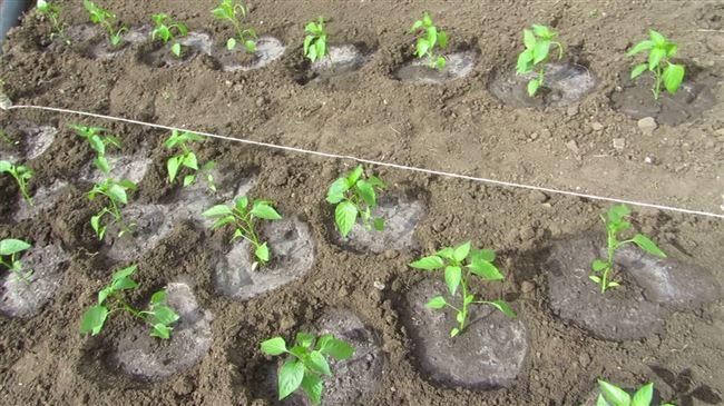 Когда рассаду перца высаживать в грунт
