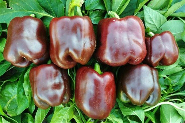Особенности агротехники шоколадного овоща