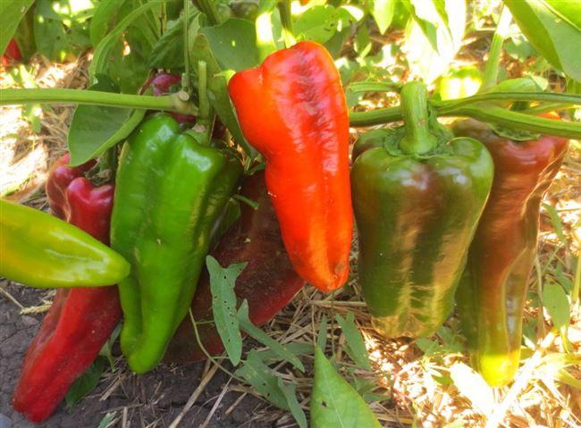 Характеристика и описание сорта перца Воловье ухо, выращивание и уход