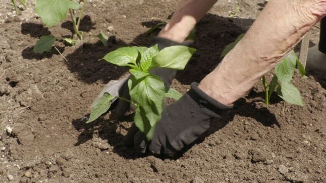Подготовка почвы и посадка
