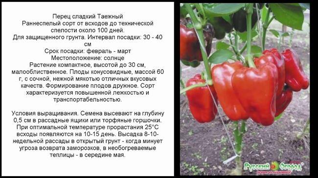 Посадка и выращивание перца