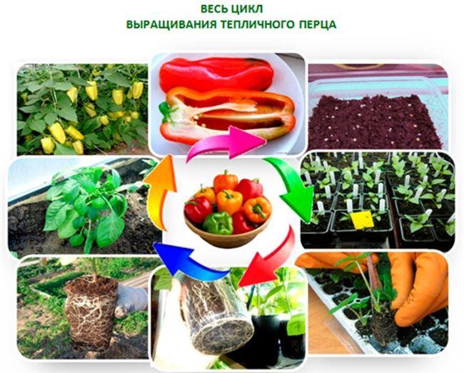 Агротехника выращивания, посадка и уход