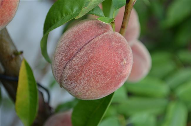 Почему не плодоносит персик