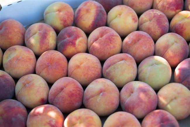 Наиболее распространённые болезни персика