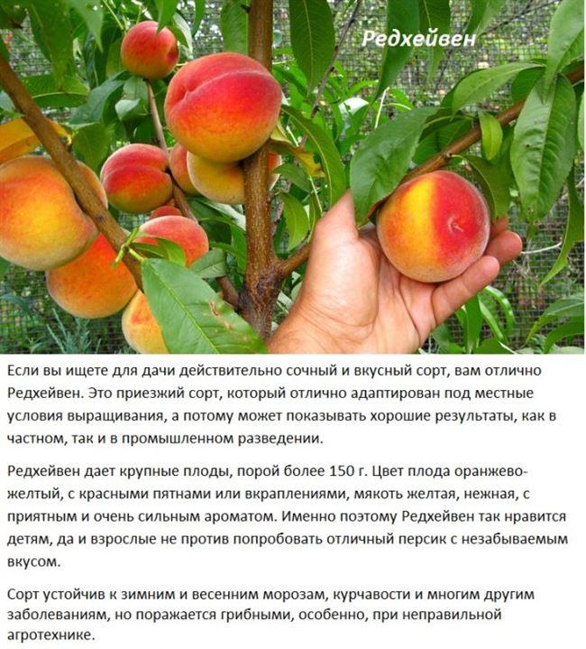 Размножение персика на даче