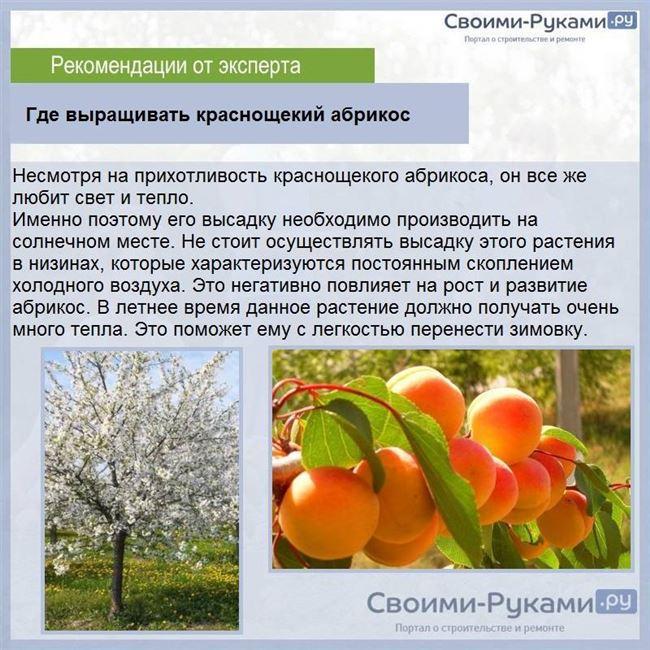 Нюансы абрикоса Краснощекого в уходе и посадке