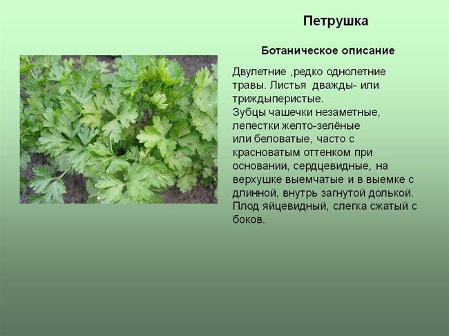 Размножение растения семенами. Зимняя выгонка зелени из корнеплодов
