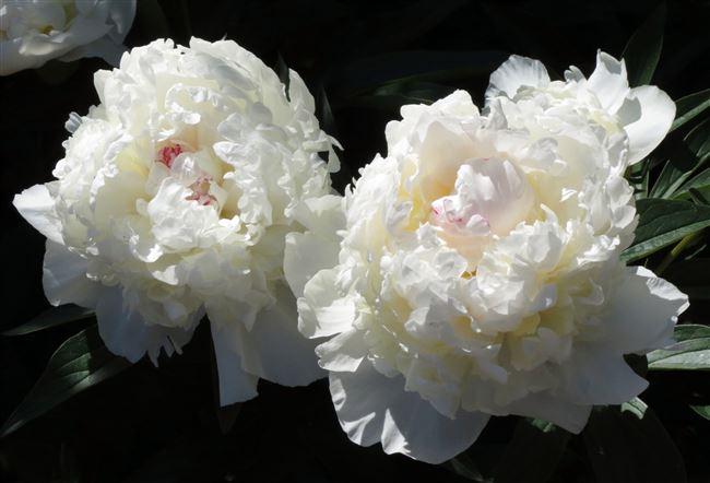 Особенности цветения
