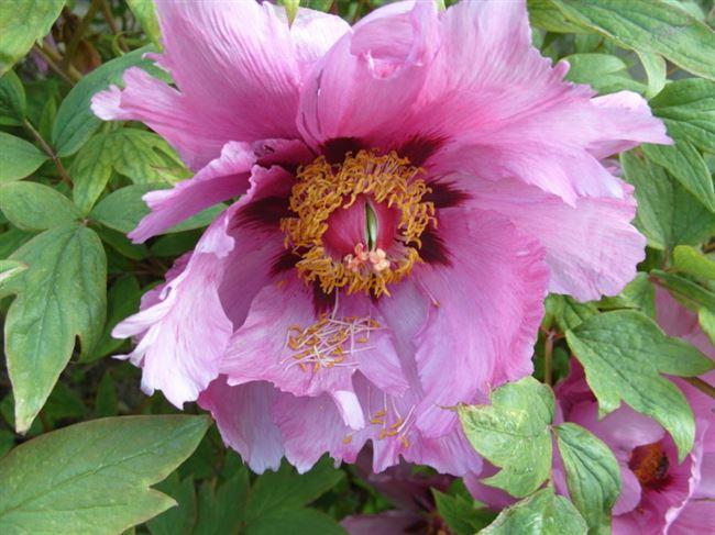 Ботаническое описание древовидного пиона