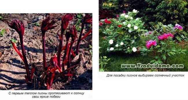 Уход за пионами в саду весной и летом после посадки (с видео)