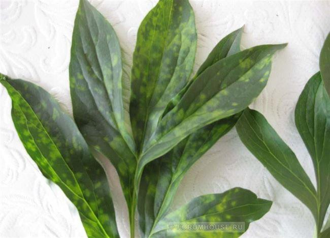 Кольцевая мозаика листьев или погремковость табака
