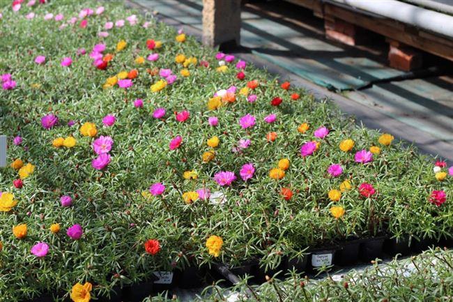Огородный портулак - выращивание из семян