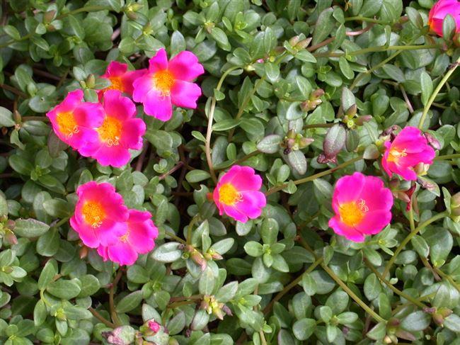 Портулак - посадка и уход, фото садовых растений