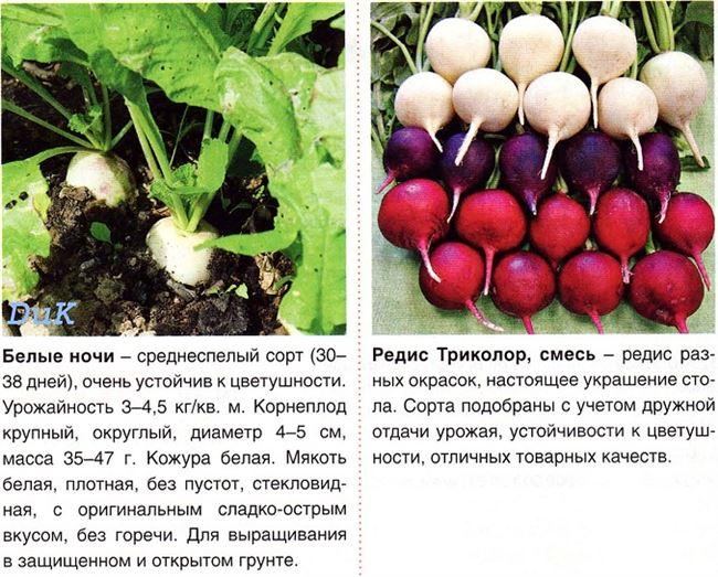 Размножение редиса. Как получить семена редиса?