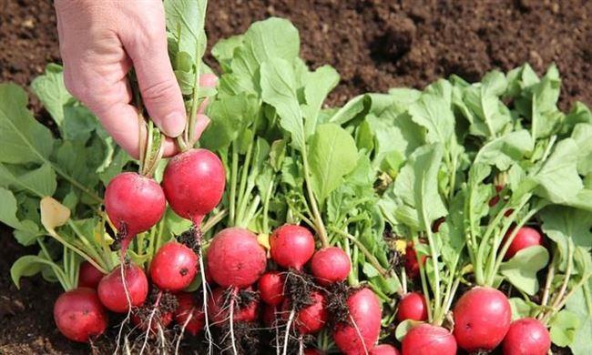 Уход за посевами редиса