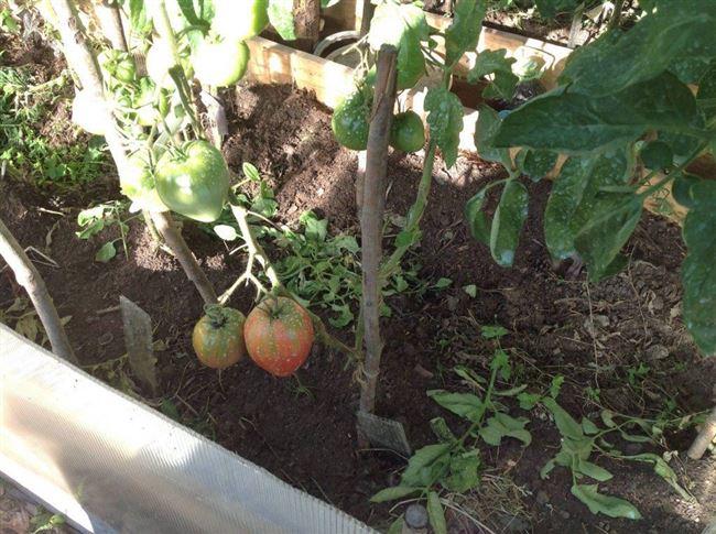 Урожайность томата Розовый фламинго и плодоношение