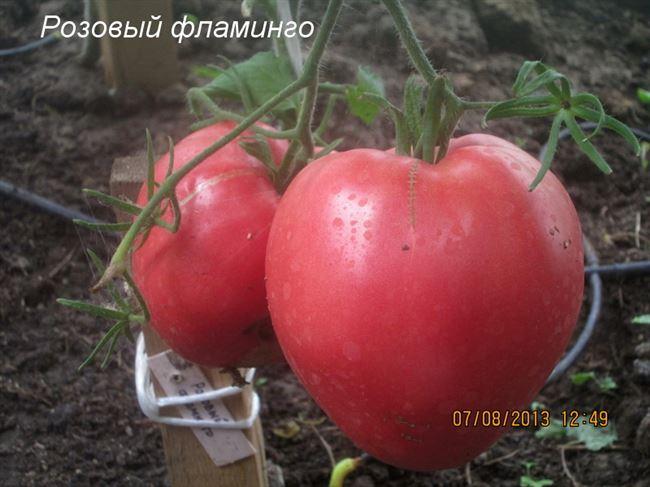Особенности выращивания помидоров Розовый фламинго, посадка и уход