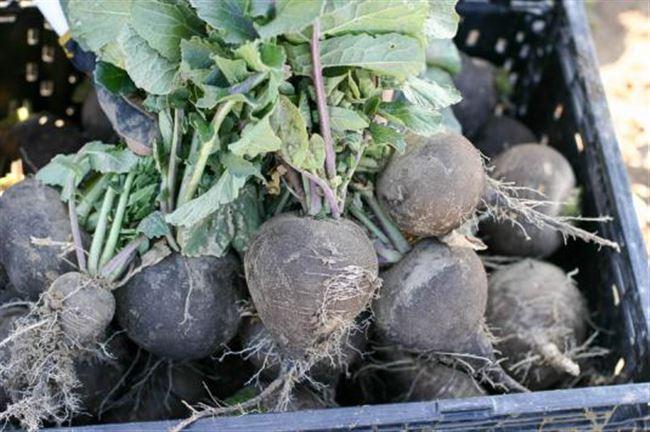 Уборка урожая и хранение редьки