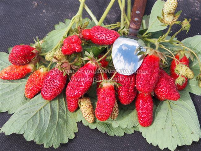 Характеристики ягоды и фото