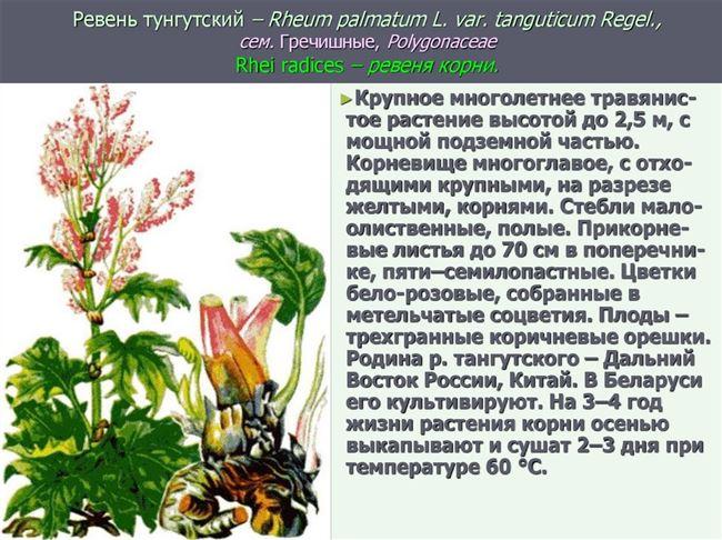 Ботаническое описание Ревеня, происхождение и распространение