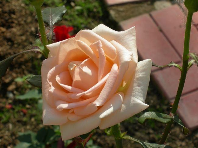 Какого ухода требует роза чайно-гибридная Осиана