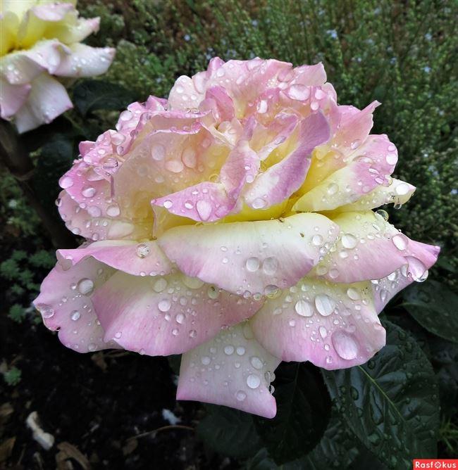 Устойчивость плетистой розы Глория Дей