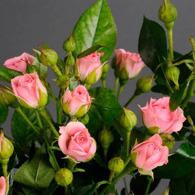 Описание розы 'Cream Gracia'