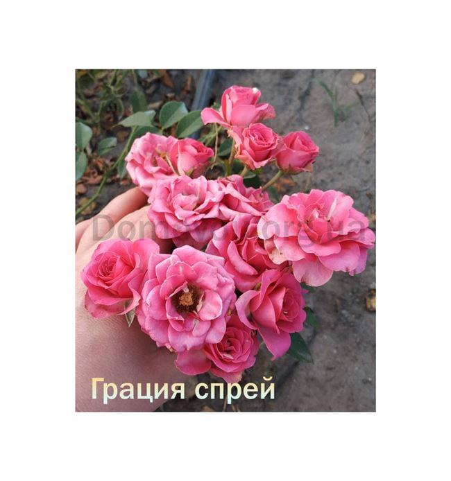 Размножение роз спрей