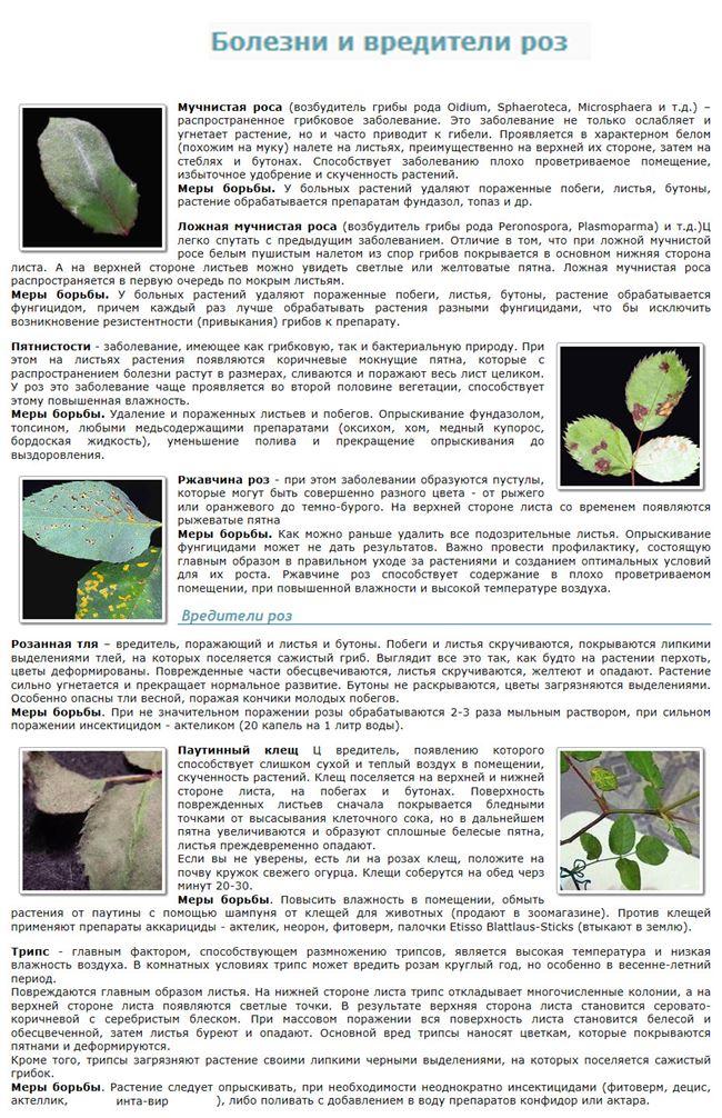 Обработка роз для защиты от болезни цитоспороз