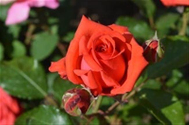 Магические свойства розы Коралловый Сюрприз