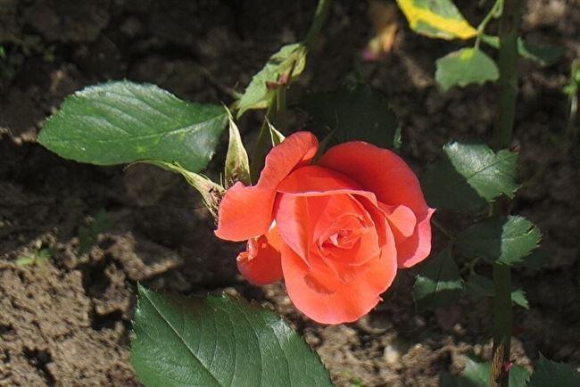 Описание розы Коралловый Сюрприз