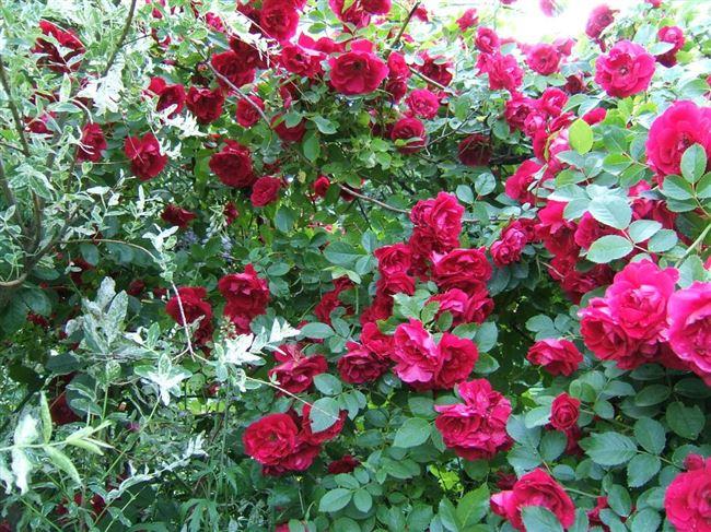 Посадка и уход за плетистой розой Красный Маяк