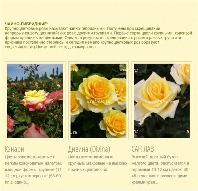 Чайно-гибридные розы. Особенности посадки: видео
