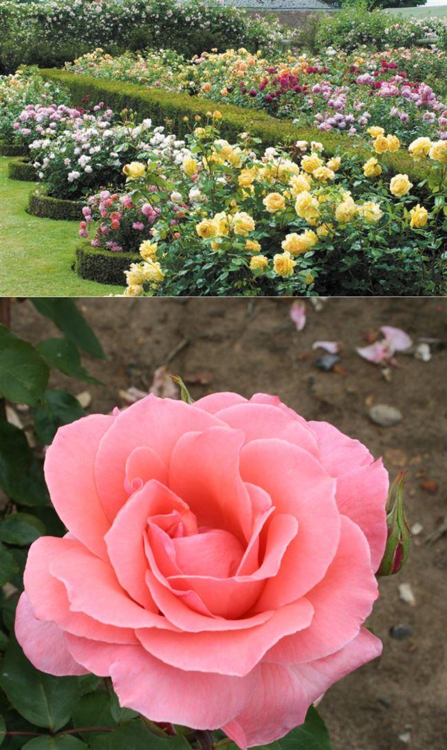 Посадка чайно-гибридной розы