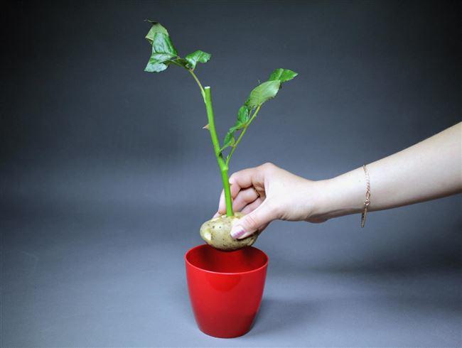 Как выращивать маленькие розы в домашних условиях
