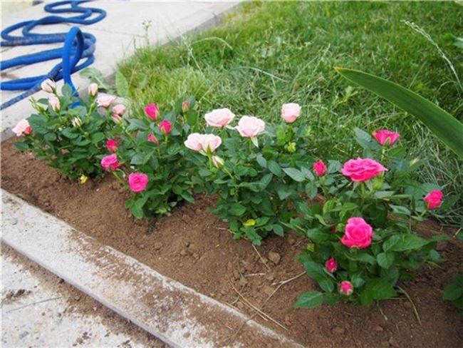 Мини розы в саду – посадка и уход в открытом грунте