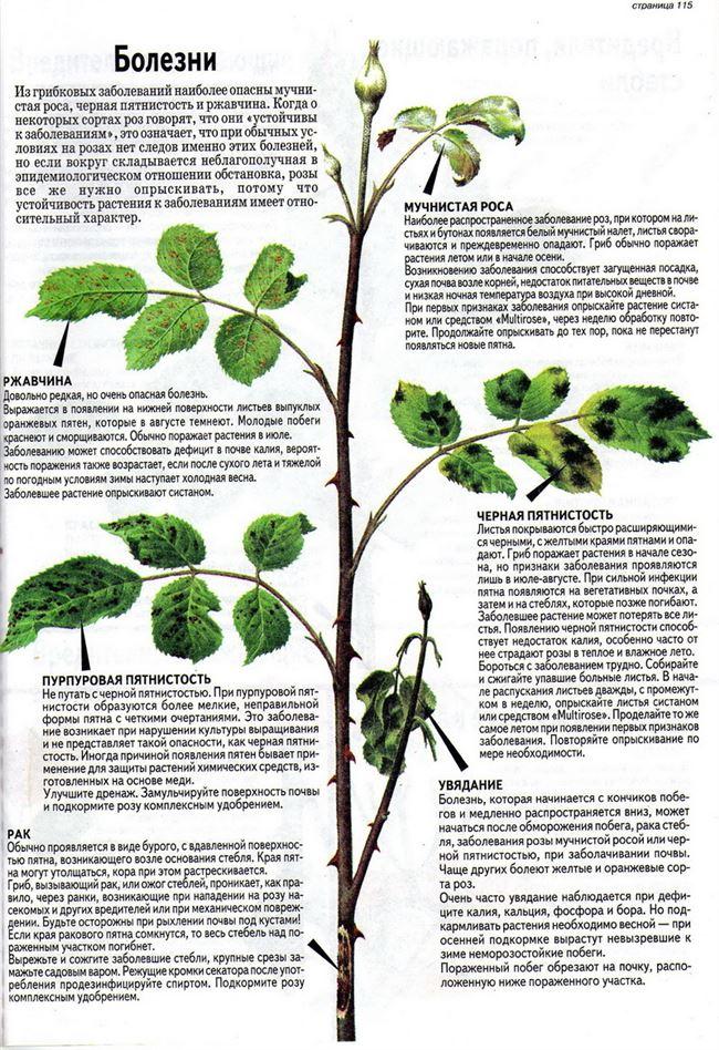 Основные болезни кустов розы и способы их лечения