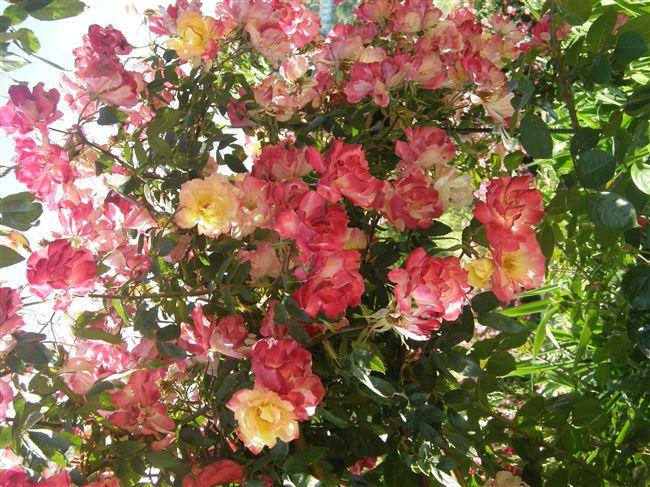 Видео: рекомендации по выращиванию роз