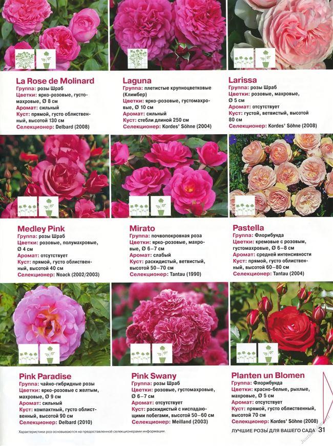 Основные характеристики розы Флорибунда