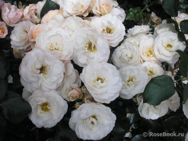 Группы роз