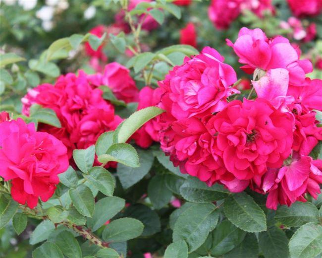 Характеристика морщинистой розы