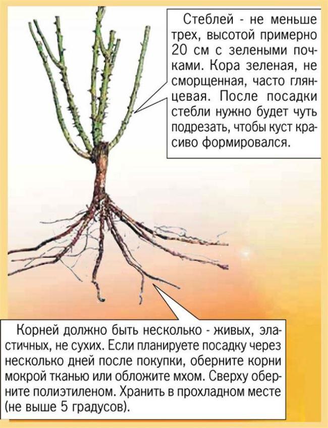 Как выявить болезни корневой системы роз?
